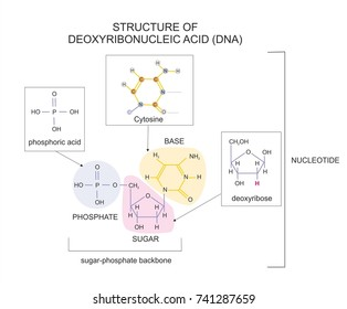 Molecular structure of deoxyribonucleic acid (DNA) showing a base, a phosphate and a sugar deoxyribose residues.