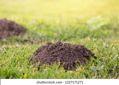 Molehills. Damaged lawn it is result of European Mole activity. This pest is also known as Talpa Europaea. Copy space for text