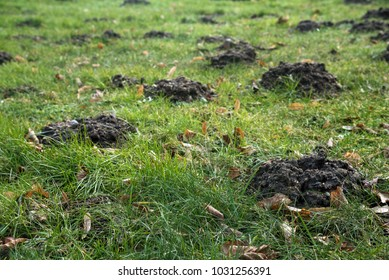 Molehills in the grass destroy the evenly lawn in the garden, but the moles also loosen the earth and eat pests like grubs and snails, selected focus, narrow depth of field
