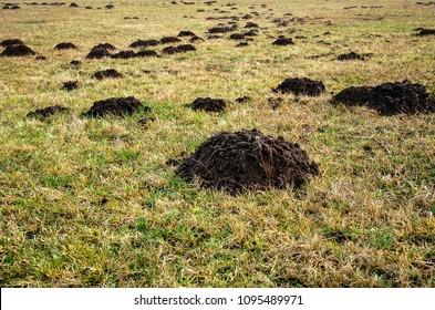 A lot of molehills on a meadow in Masovian Voivodeship of Poland