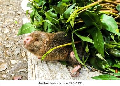 Moles animals