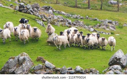 Moll's Gap, Kenmare - Kerry / Ireland -  May 19, 2018: A border collie herding sheep at the Kissane Sheep Farm, Moll's Gap, Ireland, on May 19, 2018.