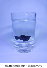 molly fish in a glass