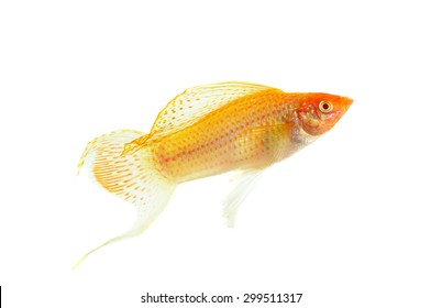 Molly fish isolated on the white background.