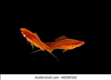 molly fish Orange red On a black backdrop