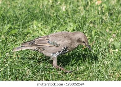 Molting Common Starling (Sturnus vulgaris) in park