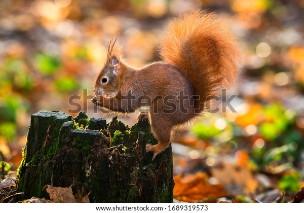 Molting squirrel with walnut in a city park. Red Squirrel eating nuts on a mossy log. Art view on wild nature. Cute Sciurus vulgaris with long pointed ears in autumn scene . Wildlife in November.