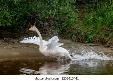 Molting Whooper Swan (Cygnus cygnus) in Barents Sea coastal area, Timan tundra, Nenets Autonomous Okrug, Arkhangelsk Region, Russia