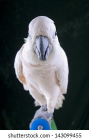 moluccan cockatoo leaning into camera on perch
