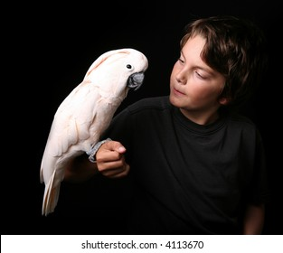 Moluccan Cockatoo With a Young Adult on Black Background