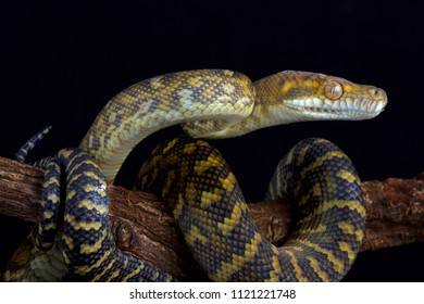 The Moluccan python (Simalia clastolepis) is endemic to the Maluku islands, part of Indonesia.