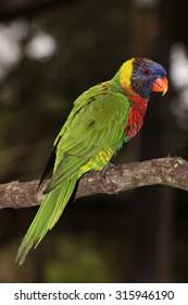 A Moluccan Rainbow Lorikeet (Trichoglossus Moluccanus) Portrait