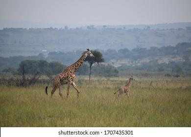 Mom and Baby Giraffe at Akagera National Park in Rwanda