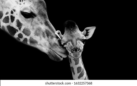 Mom And Baby Giraffe Face Black Background