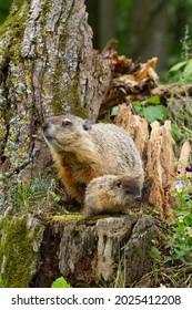 Mom and Baby Groundhog on Tree Stump