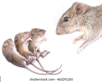 MOM and baby Mouse isolated on white - Rats family on a white background (macro image) with copy space. The common species are opportunistic survivors and often live with and near humans.