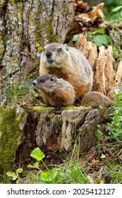 Mom and baby woodchuck on stump