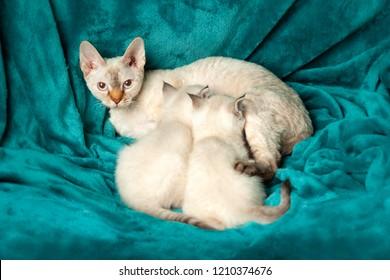 Mom cat feeding two little kittens. British shorthair with blue eyes.
