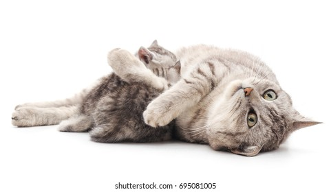 Mom cat with kittens isolated on a white background.