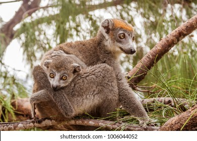 Mom and child Crowned lemur (eulemur coronatus) in their natural environment of Madagascar