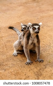Mom and child Lemurs Catta (Maki mococo) in their natural envoronmant of Madagascar