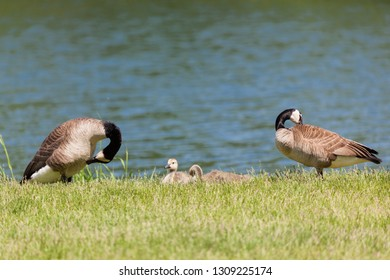 Mom and dad geese groom themselves as they stand on either side of their chicks in the grass next to a pond.
