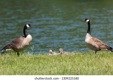 Mom and dad geese standing guard on either side of their sleeping chicks in the grass next to a pond.