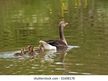 Mom grey-lag goose with a family of four gosling