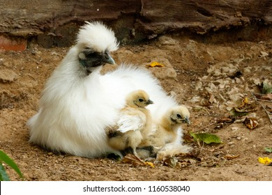 Mom and her baby Chicks sitting together on the ground