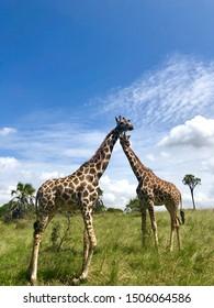 Mombasa safari park Kenya giraffes