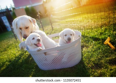 Mom-dog cares for his little white puppies that sit in the basket