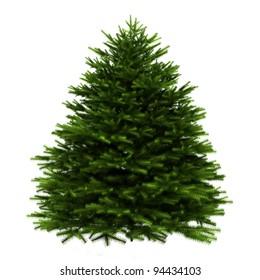 momi fir tree isolated on white background