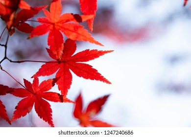 Momiji leaves which turned red in autumn