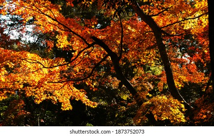 """Momiji"" Maple Leaves Making a Blaze of Orange in Autumn"