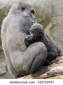 momma and baby ape snuggle