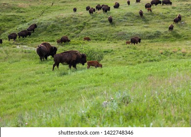 Momma and baby bison walking across the prairie with their herd mates in the background.