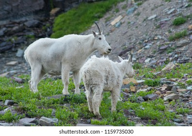 Momma And Baby Goats