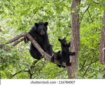 Momma Bear with Two Cubs in a Tree