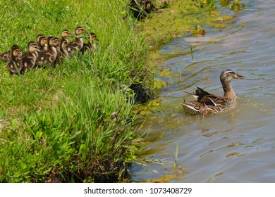 Momma Duck Teaching Her Baby Ducks How to Swim As They Each Jump Into Water