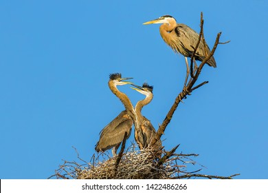 Momma Heron Watching While Two Of Her Young Joust Each With Their Long Beaks