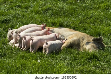 Momma pig feeding baby pigs Momma pig feeding baby pigs