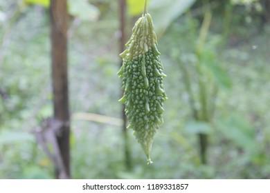 Momordica charantia often called balsam apple, balsam pear, bitter balsam apple, bitter cucumber, bitter melon, carilla gourd, paria, wild balsam-apple, achochilla, archicha, balsamina, carilla.