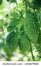 Momordica charantia often called bitter melon, bitter gourd or bitter squash.