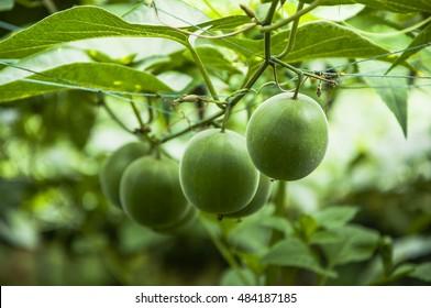 Momordica grosvenori fruits