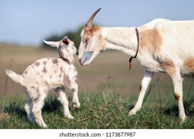 Mom's love and solicitude for her little goatling