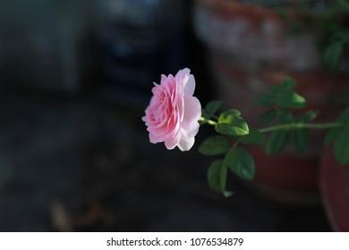 Coeur Rose Images Stock Photos Vectors Shutterstock