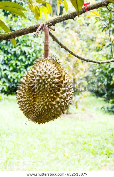 Mon Thong or Golden Pillow durian, king of tropical fruit, on its tree branch in the orchard