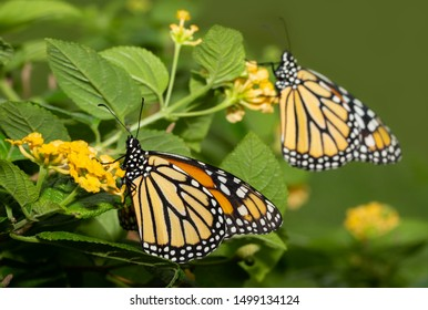 Monach butterfly on a yellow Lantana flower, with another Monach on the background