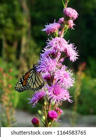 Monarch buttefly feeding on a rough blazing star wildflower. Tall pink wildflower with flower heads blooming from top to bottom. Liatris aspera with danaus plexippus on it.