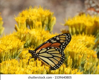 Monarch buttefly, perched upon wild, yellow, sagebrush flowers, San Gabriel Mountains, California.